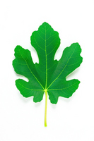 Fig leaves Stock photo [2676977] Fig