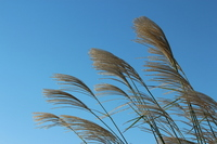 Autumn of blue sky and pampas grass (thin) Stock photo [2755710] Japanese