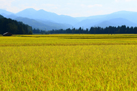 Golden rice Stock photo [2756552] Paddy