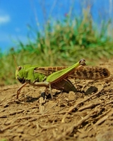 Spawning of migratory locust in grassland Stock photo [2757948] Lord