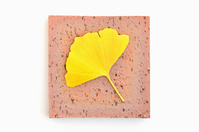 A ginkgo leaf Stock photo [2758625] Ginkgo