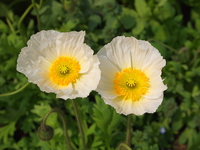 Iceland poppy white Stock photo [2839210] Iceland