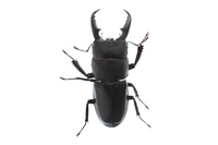 Male Dorcus titanus of white background Stock photo [2839277] Dorcus
