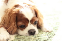 Cavalier to lie down Stock photo [2849418] Cavalier
