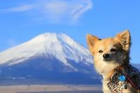 Chihuahua and Mount Fuji stock photo