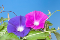 Two colors of morning glory Stock photo [2924115] Morning