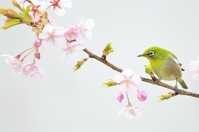 Japanese white-eye and cherry Kawazu Stock photo [2926959] White-eye