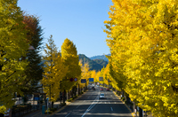 Ginkgo trees of Koshu Kaido Stock photo [2928247] Ginkgo