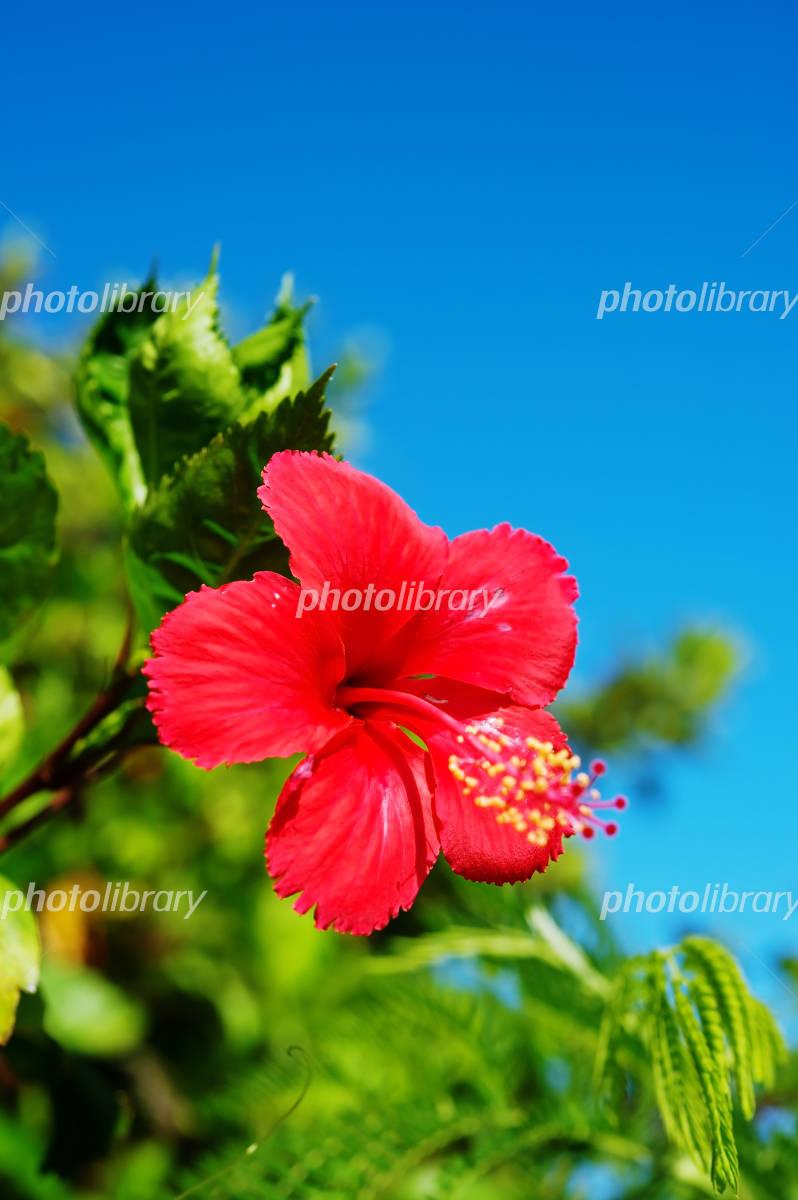 Hibiscus -Hibiscus sp. Photo