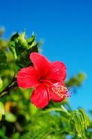 Hibiscus -Hibiscus sp. Stock photo [3009221] Hibiscus