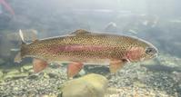 Rainbow trout Stock photo [3009182] Rainbow
