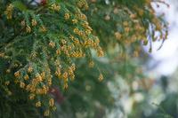 Cedar pollen Stock photo [3009830] Cedar