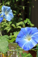 Western morning glory Stock photo [3010549] Western