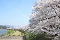 Of cypress Uchikawa Tsutsumi cherry trees Stock photo [3013665] Cherry