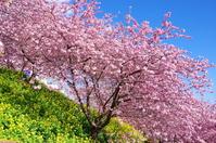 Matsuda mountain of herb garden cherry Kawazu Stock photo [3088828] Matsuda