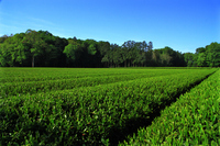 Tea plantation Stock photo [3091425] Sayama
