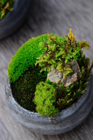 Potted moss Stock photo [3092545] MOSS