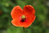 Poppies of just bloomed Stock photo [3093893] Papaver
