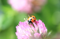 The ladybug in pale peach color of clover flowers Stock photo [3095027] Chemical