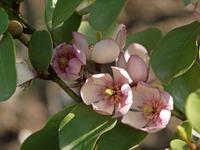 Magnolia figo Stock photo [3095671] Tang