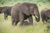 African elephant Stock photo [3097151] Africa