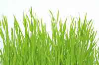 Barley Grass Stock photo [3098518] Barley