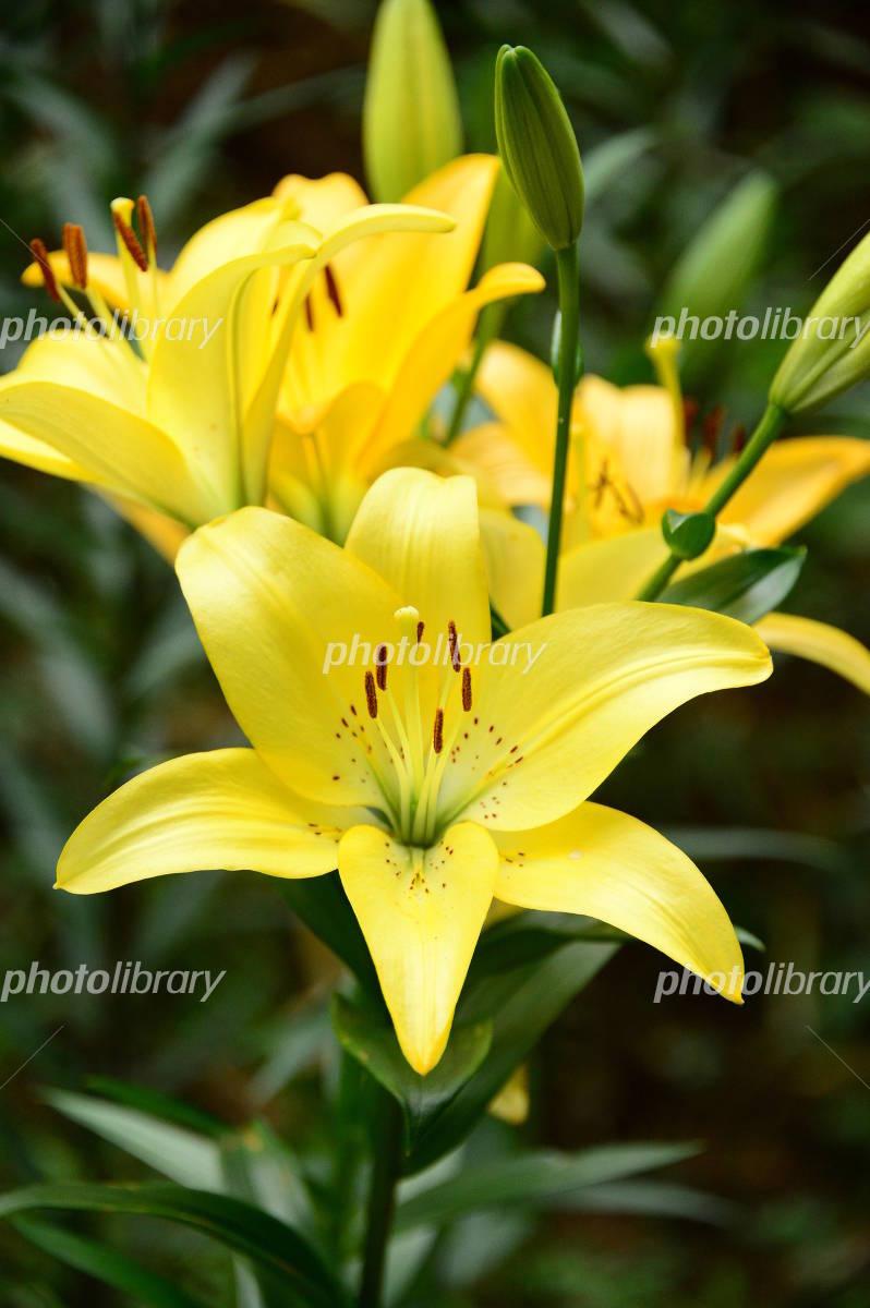 ユリ の 花