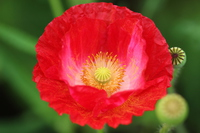 Up of red dish over poppy Stock photo [3184626] Petri