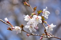 Bloom in mountain Prunus incisa Stock photo [3186472] Tanzawa