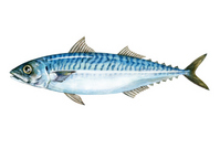 Mackerel watercolor illustrations [3186806] Mackerel
