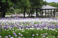 Nagai iris park Stock photo [3187544] Japanese