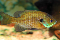 Bluegill Stock photo [3191293] Bluegill
