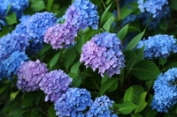 The color change to have the West hydrangea Stock photo [3191499] Western