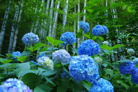 Meigetsuin of hydrangea and bamboo Stock photo [3192834] Moon