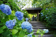 Hydrangea blooming in Meigetsuin Stock photo [3194546] Moon