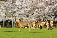Deer of Nara Park Stock photo [3294306] Deer