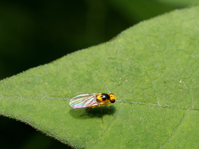 A kind of beautiful fly-leafminer Stock photo [3294924] Insect