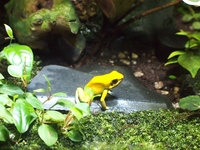 Frog (Golden poison frog) Stock photo [3296056] Frog