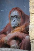 Orangutans Stock photo [3298160] Orangutans
