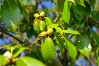 Evergreen oak acorns Stock photo [3386648] Trees