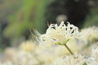Furosan Seikoji white amaryllis Stock photo [3387663] Amaryllis