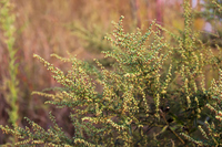 Mugwort flowers Stock photo [3389081] Wormwood