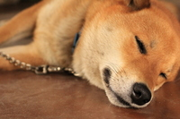 Shiba Inu to sleep Stock photo [3393361] Dogs