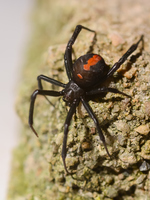 Redback spider female Stock photo [3396661] Redback
