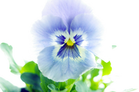 Pansy Stock photo [103595] Pansy