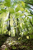 Young tree of beech Stock photo [104527] Aomori