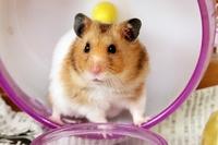 Golden hamster Stock photo [3479441] Hamster