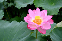 Full bloom of lotus flowers Stock photo [3480344] Lotus