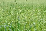 Oat that is used in soil improvement Stock photo [3482076] Oat
