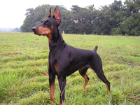 Doberman Stock photo [3482604] Doberman